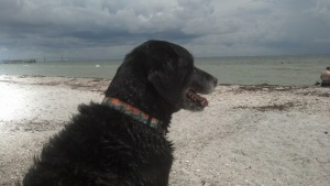 Zeke, a regular patron, enjoys the leash-free area of Fort De Soto Park's Paw Playground.